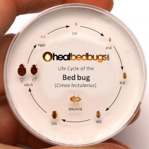 Life Cycle Close up_heatbedbugs