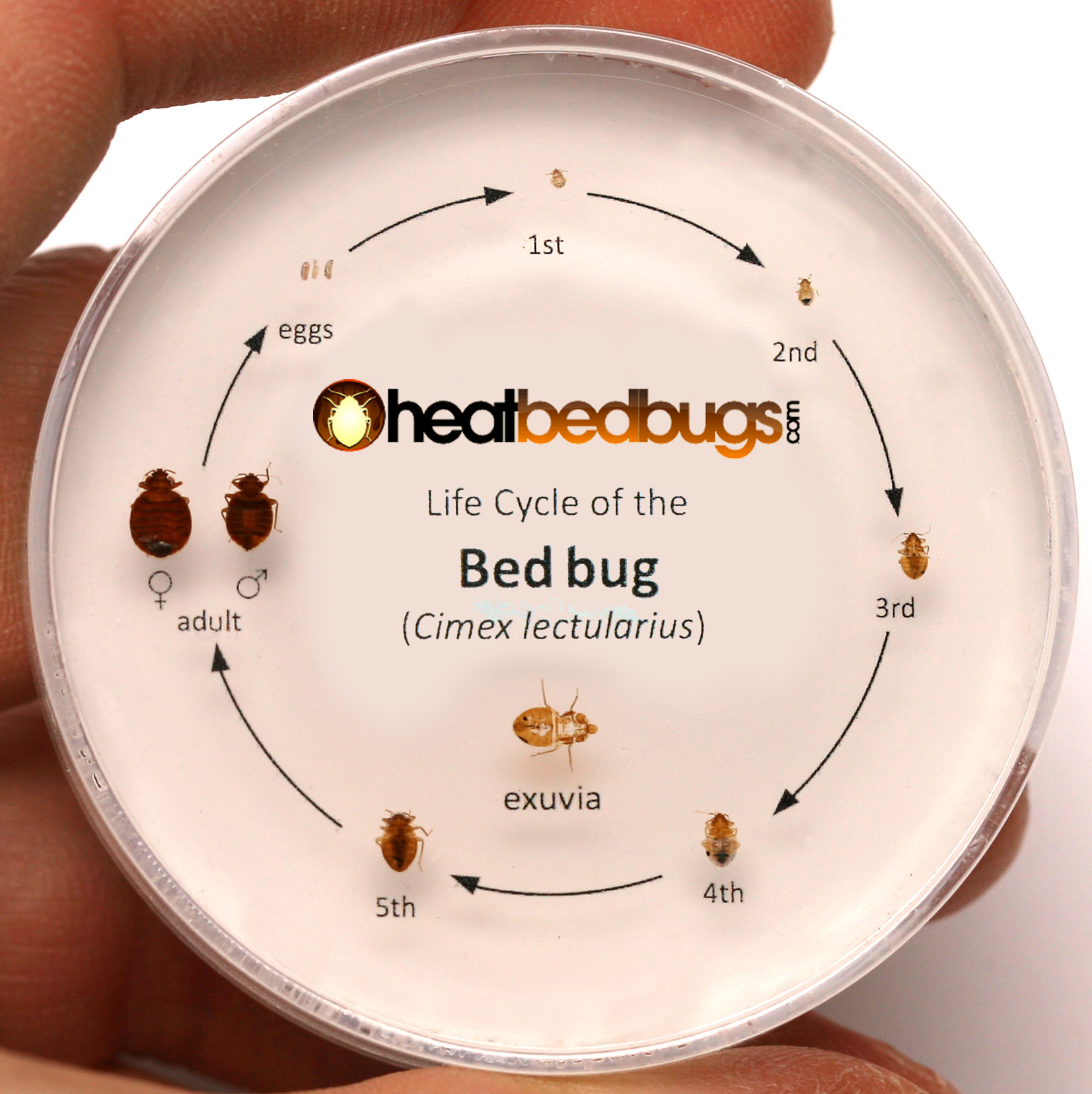 Faq about bed bugs heat bed bugs for Average lifespan of a mattress