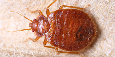FAQ About Bed Bugs